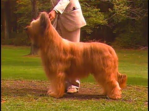 Briard - Pastor De Brie - ブリアード - AKC Dog breed series
