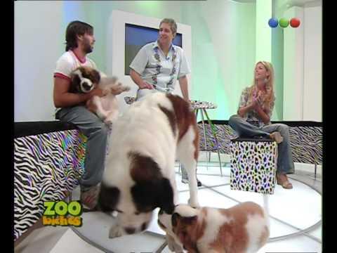 Perros San Bernardo - Zoo Bichos