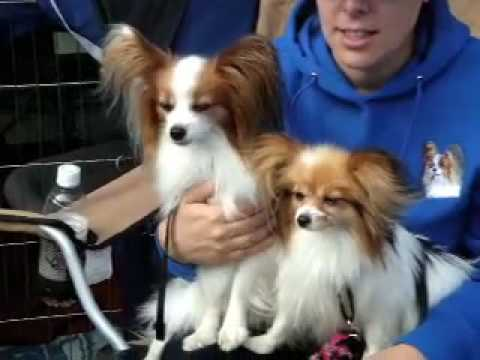 New york minute papillon dogs at agility trials youtube for Papillon new york