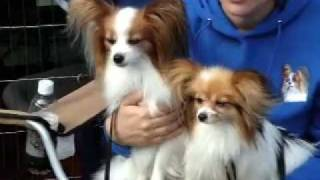 New York Minute:Papillon dogs at Agility Trials