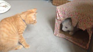 元気いっぱいのひろしと 休みたい兄猫チロちゃん。 ひろしはまだまだ子...