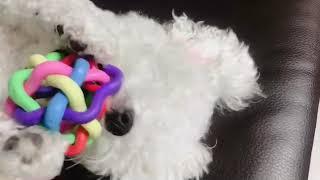 장난감 가지고 노는 강아지