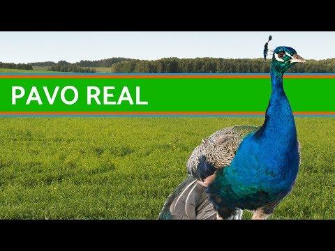 Curiosidades del pavo real