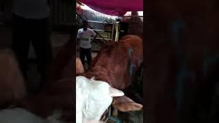 Download Video Terciduk dalam kandang sapi MP3 3GP MP4