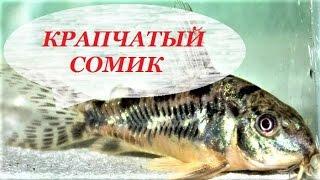 Крапчатый сомик. Разведение, содержание, размножение. Corydoras paleatus.