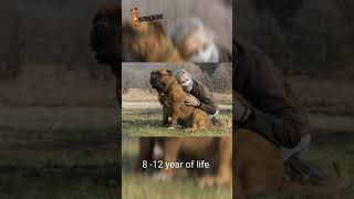 Mastiff dog breed is a powerful and heavy weight breed