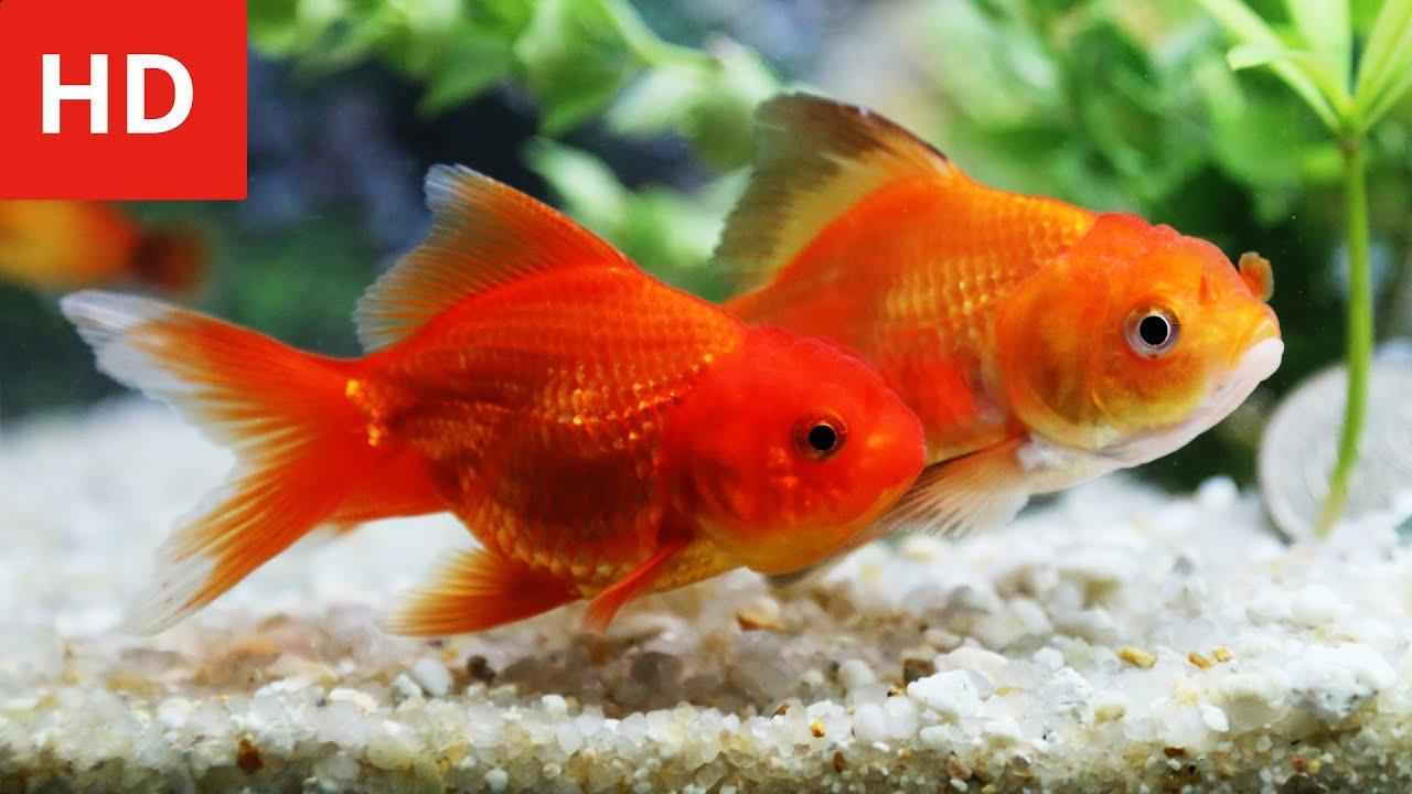 Goldfish Love Story - HD 1080p - YouTube