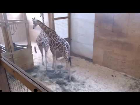Download Youtube: April the Giraffe Playing with Oliver!   So Cute! Animal Adventure