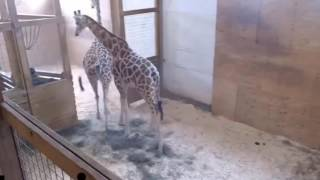 April the Giraffe Playing with Oliver!   So Cute! Animal Adventure