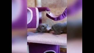 Шотландские котята(скоттиш фолд, скоттиш страйт) Игровые комплексы, домики, когтеточки ручной работы