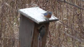 Bluebirds At Roost Box