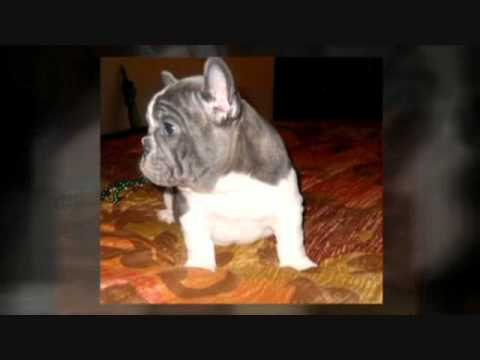 Blue French Bulldog Puppies Blue Frenchies Blue Brindle Solid