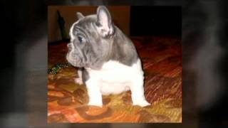 Blue French Bulldog Puppies, Blue Frenchies, Blue Brindle, Solid Blue French Bulldog Puppies