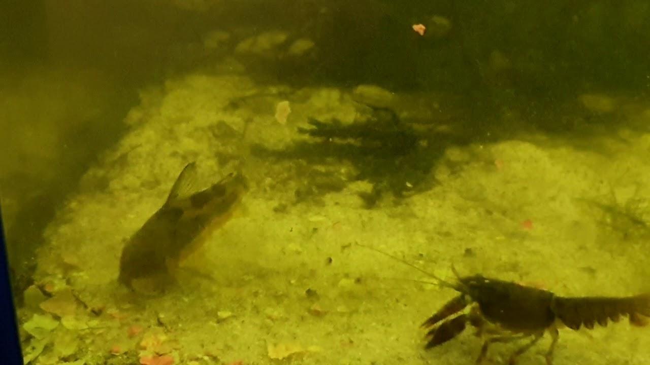 Download Marmorierte Panzerwelse   Alles zur Haltung, Pflege, Zucht und Vermehrung dieser Fische   Steckbrief
