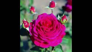 видео Роза Дабл Делайт - описание и фото сорта, отзывы цветоводов