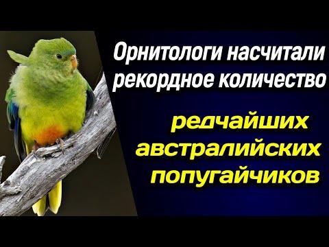 🍁 Орнитологи насчитали рекордное количество редчайших австралийских попугайчиков 🍁