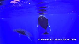 Humpback Whales in Hawaii playing very close to our boat