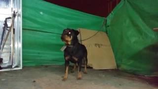 اطعام كلب روت وايلر من مسافه بعيده مع جمال العمواسي