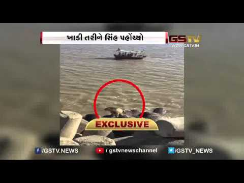 Exclusive : Amreli : Gir Lion reaches Jafrabad Lighthouse by swimming through the creek