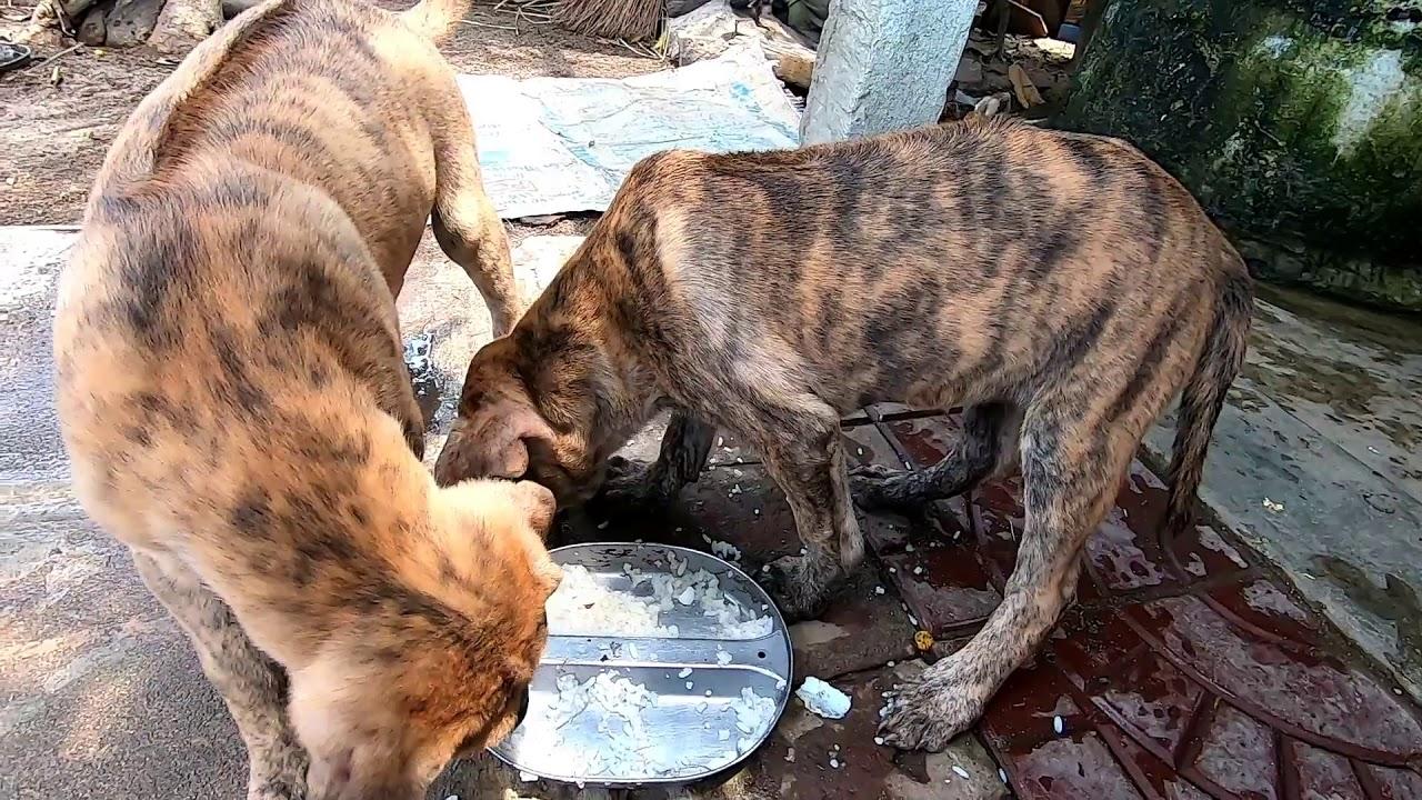 Bán chó phú quốc vện vàng hổ Đẹp chính hãng sđt 0375043122 hoặc 0847793677