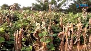 Cultivation of Maize and Broad beans as inter crop | Paadi Pantalu | Express TV