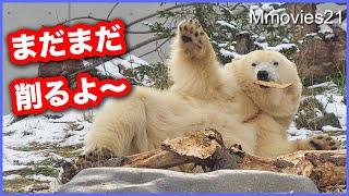 【ホッキョクグマ】アーティスト・リラ 製作中に困ったこと/お座りデナリはお手入れ中に飼育員さん発見 Polar Bears Life