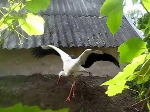 Ручной аист Федька! Выпавшего из гнезда аиста кормят и воспитывают!!!