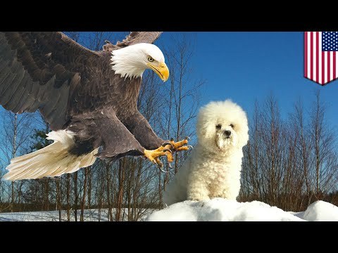 Eagle snatches dog: 8-pound pup snatched by hungry eagle in Pennsylvania - TomoNews