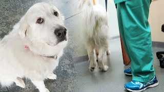 KODA GETS SHAVED AT THE VET (Super Cooper Sunday #132)