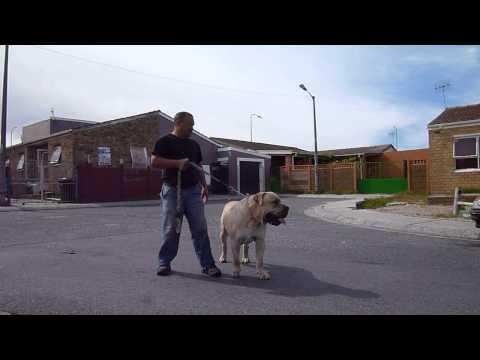 Jacob Mufasa (3 years old Male) - Video by 'Oh My Boerboel'