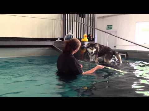 Siberian Husky Swimming