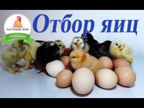 Отбор и селекция яиц для инкубации Основные правила