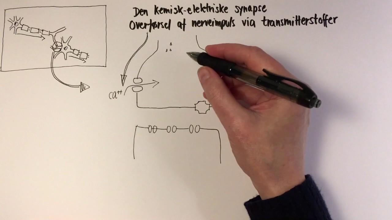 Den Kemisk Elektriske Synapse