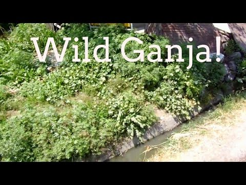 Marijuana growing wild in the Himalayas of India
