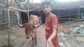 Cow hat Chittagong