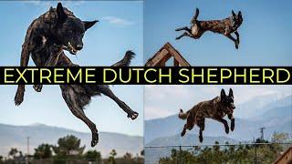 World's Greatest Dutch Shepherd   Epic Dutchies