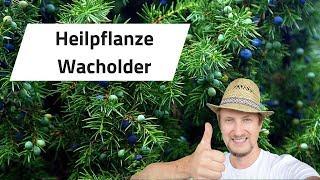 Heilpflanze Wacholder - Ausflug im Wald