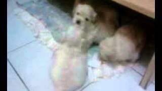 Filhotes De Poodle Com Lhasa Apso - Bud E Luci - Parte 02
