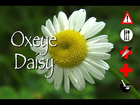 Oxeye Daisy: Edible, Medicinal, Cautions & Other Uses