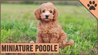 Miniature Poodle  Medium Size Poodle Version
