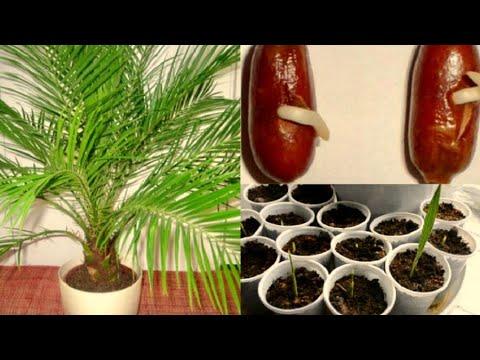 Как вырастить финик в домашних условиях из косточки
