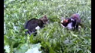 Кошки поют хором