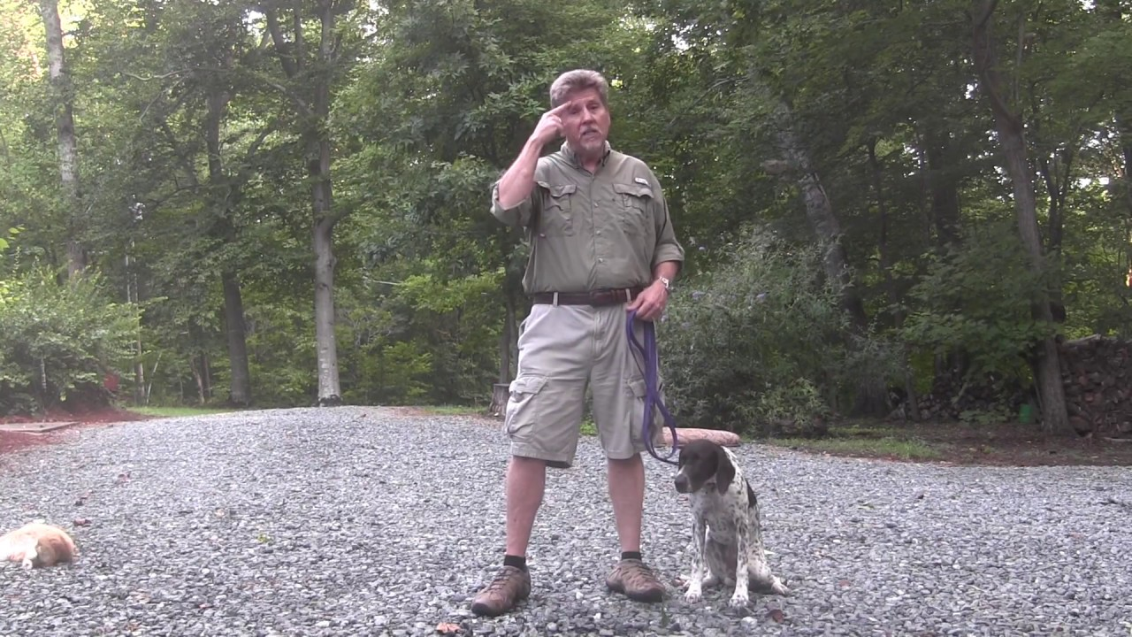 German Shorthaired Pointer Puppy Training Raleigh Nc Layla Youtube