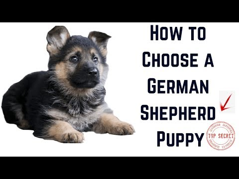 how-to-choose-a-german-shepherd-puppy