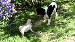 Cute Pug Puppy Chases Cavalier King Charles Spaniel - Sooo Cute