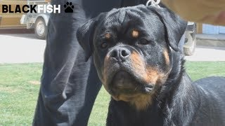 THE POWER OF ROTTWEILER