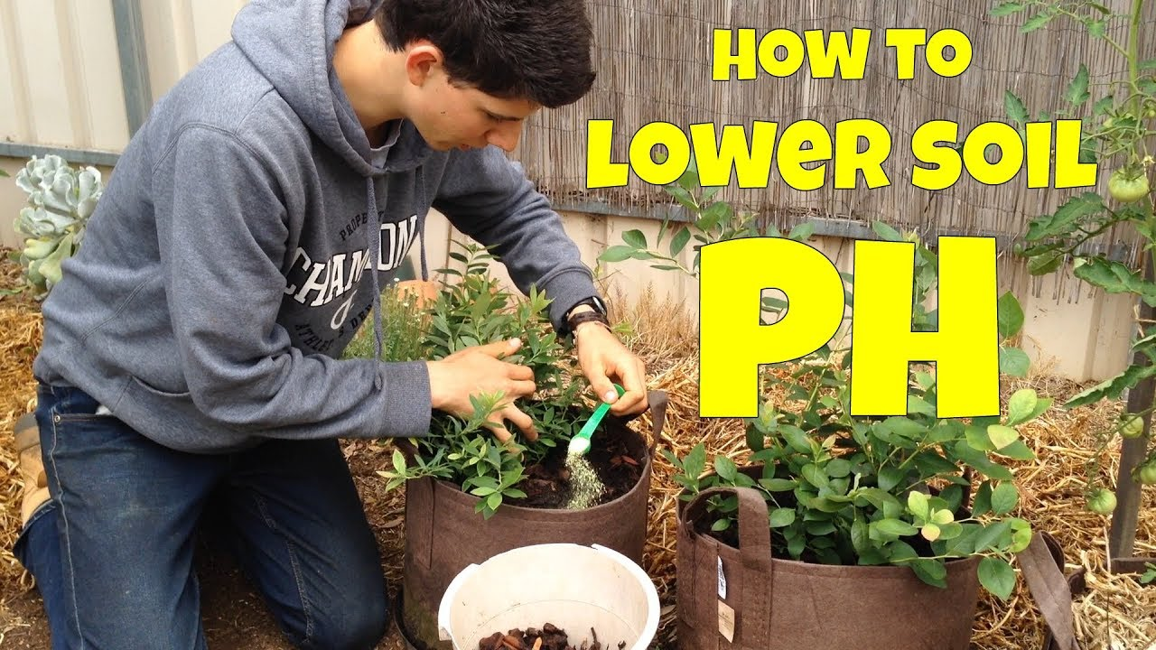 How to Lower Soil pH for Blueberries (Agricultural Sulfur) | Container  Grown |