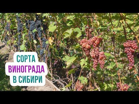 Виноград кишмиш: сорта для Сибири