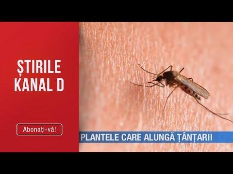 Stirile Kanal D (18.07.2019) - Plantele care alunga tantarii! Editie de pranz