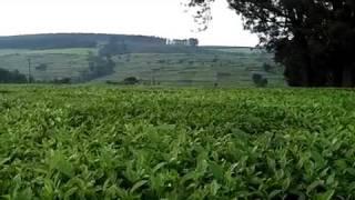 Kericho Tea Plantation